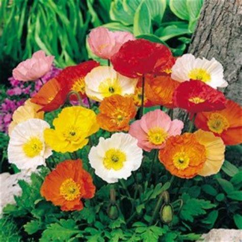 significato dei fiori papavero papavero miti storia e linguaggio dei fiori il