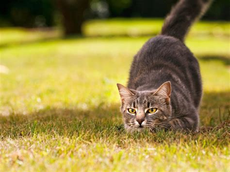 cat wallpaper latest wallpapers hunting cat wallpapers