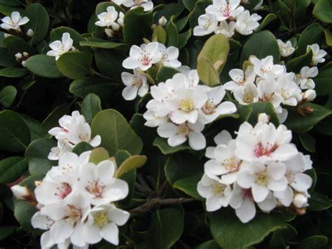 cespugli fiori bianchi arbusto a fiori bianchi