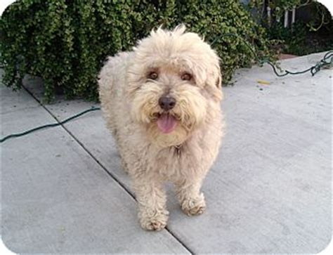 teddy i do not shed adopted yorba ca