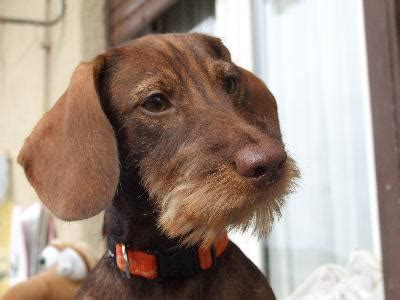 history   wire hair dachshund pets