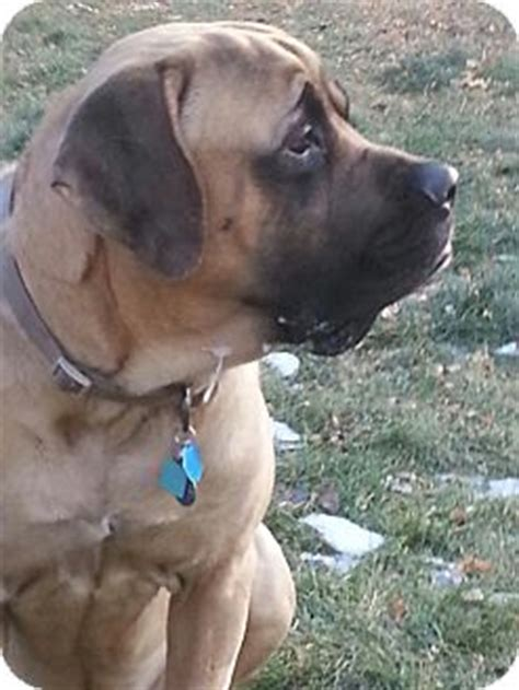 puppies for adoption in fort collins brodi adopted fort collins co mastiff