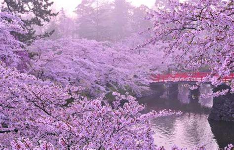 fiore di ciliegio in giapponese flash sul mondo di tutto di pi 249 il fiore di ciliegio