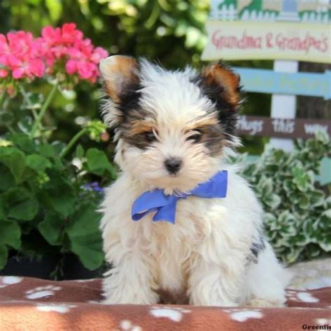 biewer yorkies for sale biewer terrier puppies for sale greenfield puppies