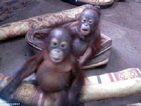 orangutans for sale illegal wildlife bushmeat trade 67pet summary