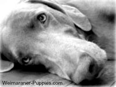 weimaraner puppies rescue weimaraner rescue and adoption weimaraner puppies