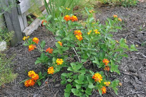 heat l for plants basil heat a rock garden chsbahrain com