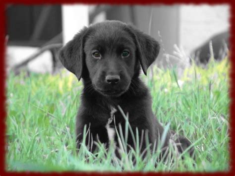 black lab puppies for free black lab puppies wallpapers android apps on play