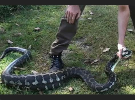 snake eats puppy snake found with chain dangling from after newsbite