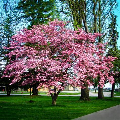 pink dogwood  tree center