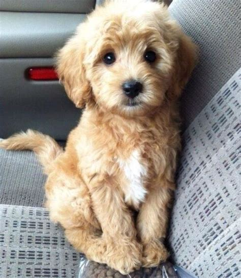mini doodle mini goldendoodle wants needs