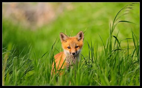one fox foxes images fox hd wallpaper and background