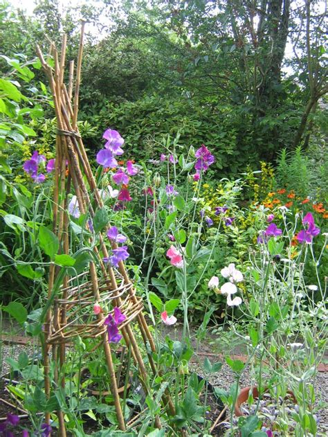 sweet peas on homemade willow wigwams bringing pollinators to my patch from growveg com