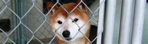 shiba inu puppies california where can i buy shiba inu puppies in california