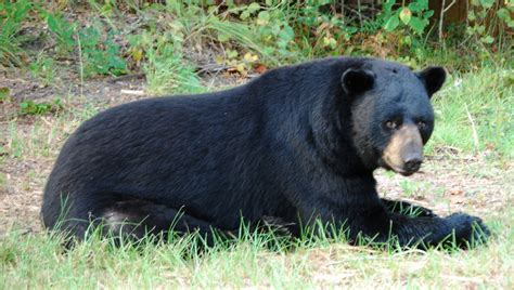 Black Bears wekiwa springs animals wekiva wilderness trust