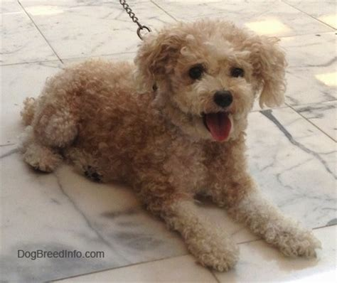 mini poodle info image gallery toypoodle