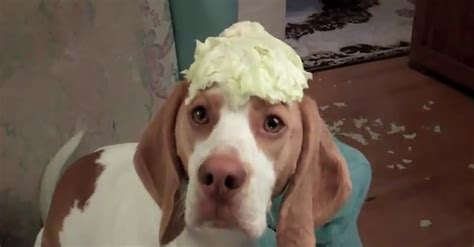can dogs cabbage cabbage stealing won t give up