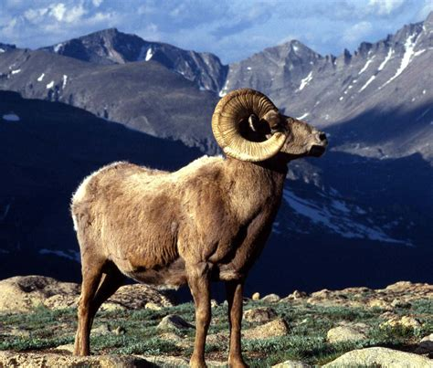 mountain ram image gallery mountain sheep ram