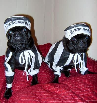 real pug pug prison real pug mugs bad pugs bad pugs whatcha
