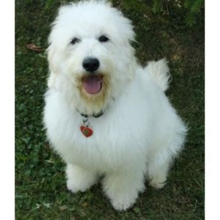 labradoodle puppies for sale in michigan goldendoodle puppies for sale in michigan photo breeds picture