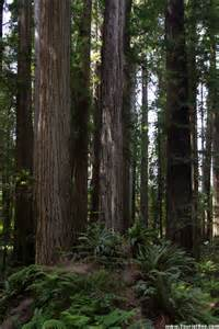 Chandelier Tree Redwood National Park Jedediah Smith Redwoods State Park Redwood Trees Joined