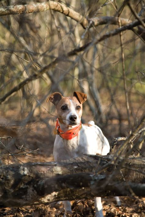 Do Feist Dogs Shed by Feist Dogs Breeds Picture