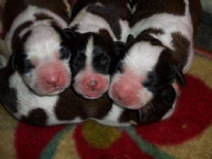 bernard puppies for sale in ny bernard puppies for sale in ohio