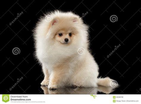 fluffy white pomeranian fluffy white pomeranian spitz sitting isolated on black stock photo image