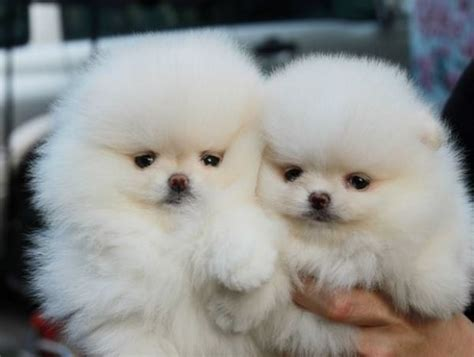 fluffy white pomeranian the cutest pomeranian pictures