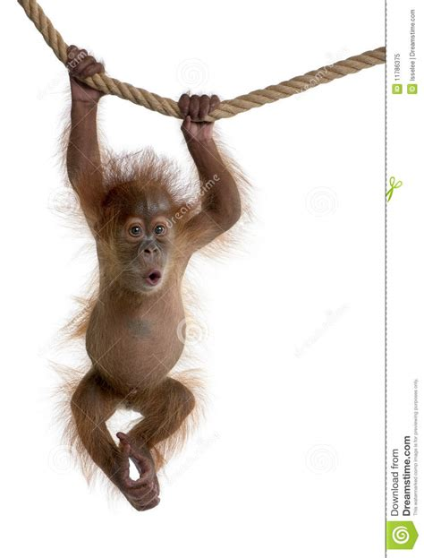 hanging pictures baby sumatran orangutan hanging on rope royalty free stock