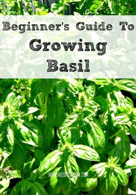 a beginner s guide to growing basil need to