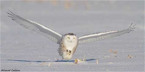 snowy owl the predator by daniel cadieux 500px