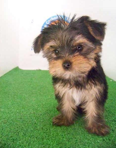 perros yorkie en venta perros terrier de venta photo