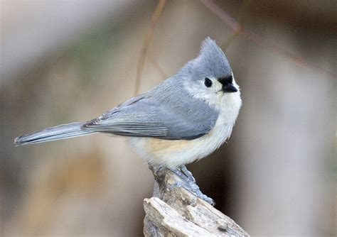 photo tufted titmouse 3167 backyard birds of