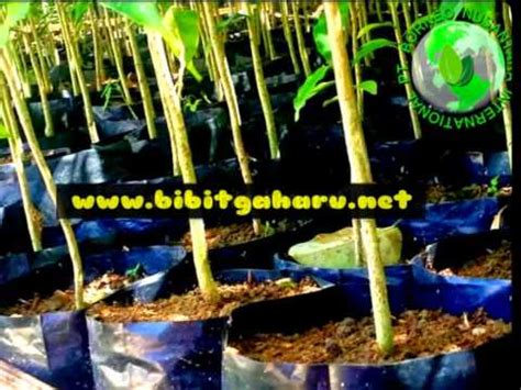 Jual Bibit Pohon Gaharu Banjarmasin jual bibit gaharu banjarmasin kalsel 081251826868 pt
