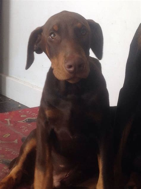 brown doberman puppies brown doberman puppy sheffield south pets4homes