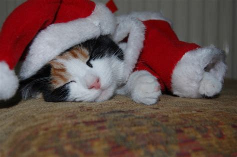 holiday wishes  christmas cats