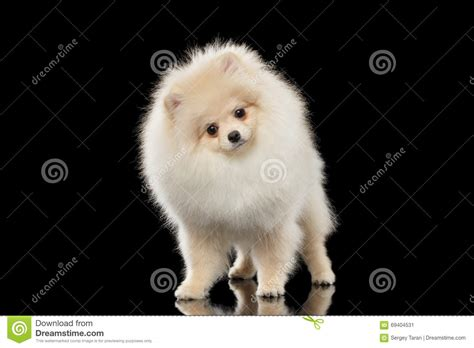 fluffy white pomeranian fluffy white pomeranian spitz standing curiously looking isolated stock
