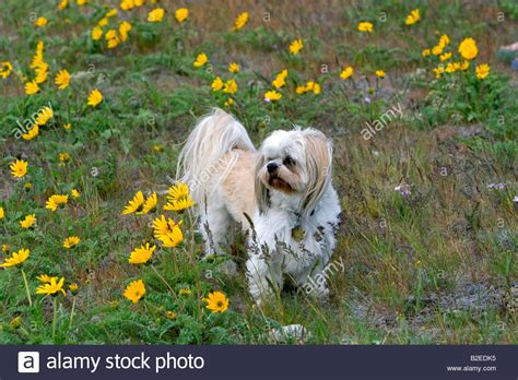 shih tzu boise shih tzu poodle mix in a field of wildflowers near boise idaho stock photo