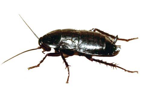 blatte volanti scarafaggi volanti e blatte rosse riconoscerle ed eliminarle