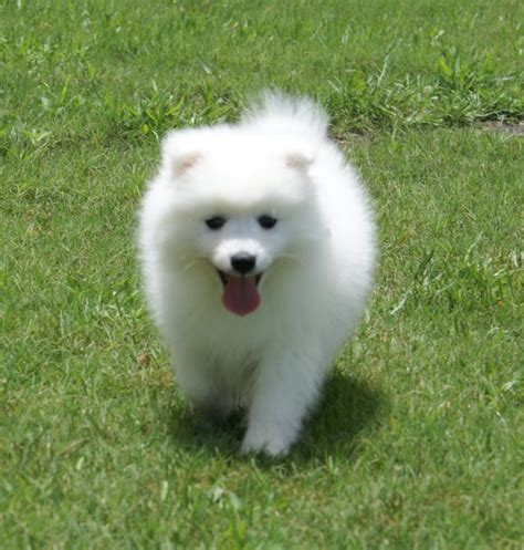 Do Spitz Shed by Japanese Spitz Puppies In Michigan Breeds Picture