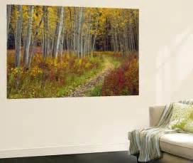 footpath through autumn aspen trees san isabel national beautiful aspen trees fall colors wall mural removable