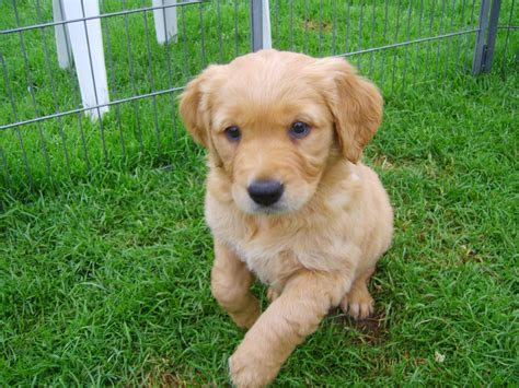 golden retriever breeders in kansas golden retriever puppies picture kansas city breeders guide