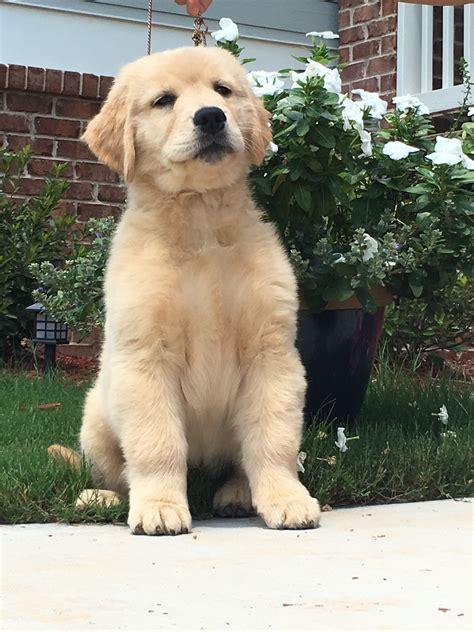 auburn golden retriever s and andy s puppies graceful golden retrievers
