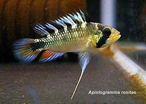 Ikan Apistogramma Indukan 64 best images about apistogramma on cichlids