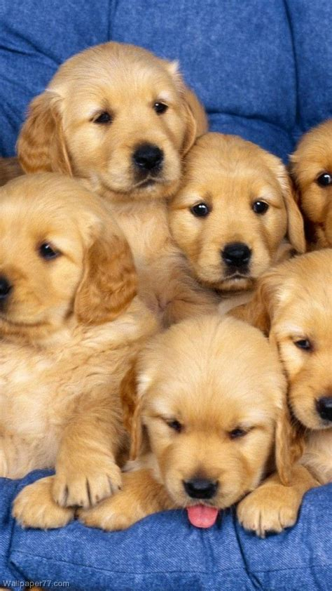 golden retriever kills baby 2125 best puppies images on dogs doggies and puppies