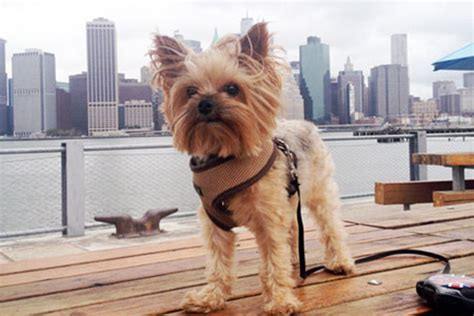 pictures of big yorkies 7 things we bet you didn t about terriers american kennel club