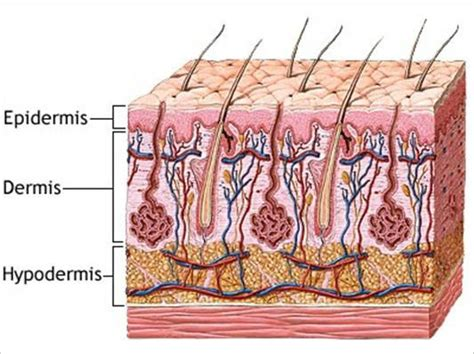 skin layers diagram system