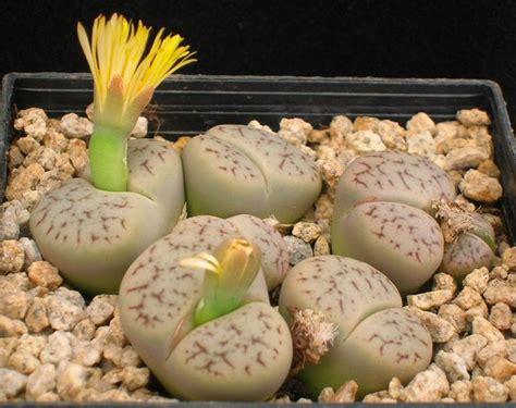 piante grasse da appartamento nomi e foto piante grasse senza spine piante grasse da appartamento