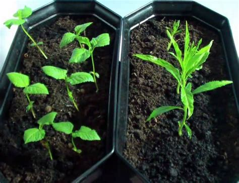 Pinset Tanaman cara menanam bunga dari biji bibitbunga